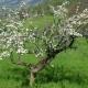 Agricoltura, Viérin: danni fino al 100% in tutta la Valle d'Aosta per le gelate notturne